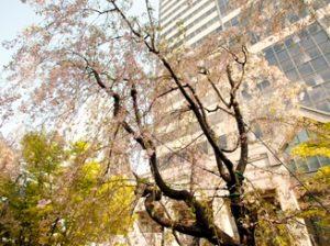 赤坂サカスの桜